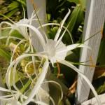 Flower (Antigua)